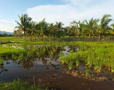 Green rice fields in Kampot, Cambodia